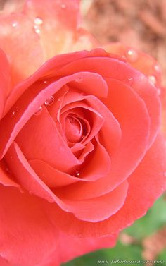 Beautiful Tropicana Rose See More Flower Pics Freecomputerdesktopwallpaper Wflowerssix