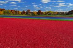 Wisconsin Cranberry Bog- The last week end Sept...this year let's do the cranberry festival