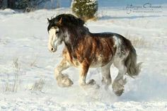 Heavy horse in the snow