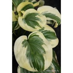 Hosta Fragrant Queen (Hostas) highly recommended by Jean's at the Garden Expo Shade Garden Plants, Hosta Plants, Leafy Plants, Shade Perennials, Jardins D'hostas, Trees To Plant, Plant Leaves, Plantain Lily, Hosta Varieties