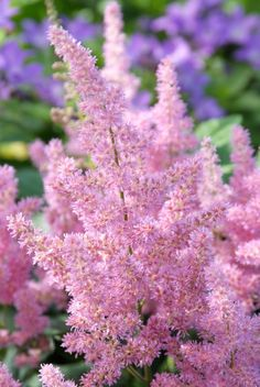 Astilbe 'Mainz' - Pluimspirea, prachtspirea ❤ Pinned by Cindy Vermeulen. Please check out my other 'sexy' boards. Glow Garden, Pink Garden, Astilbe, Ground Cover Plants, Landscaping Plants, Flower Beds, Amazing Flowers, Geraniums, Perennials