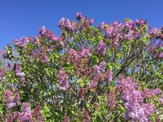 Our lilacs are just starting to bloom, it looks very pretty.      #lilac #lilacs #bloom #blooming #blooms #spring #springtime #awesome #springflowers #springishere #awesomeness #cool #best #pic #pics #picture #pictures #enjoying #picoftheday #pictureoftheday #photooftheday #photo #photos #photoaday #photogram #enjoy