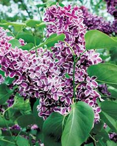Lilacs .  My Mom always has lilac bushes. She used to cut  some, wrap ends in wet paper towel,  tin foil , & send me off to school and give my teacher. =0)  Love you Mom xxxxx