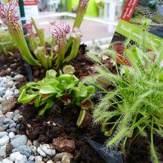 Fleischfressende Pflanzen in den verschiedensten Formen. Sweet Home, Plants, Carnivorous Plants, Deco, House Beautiful, Plant, Planets