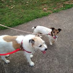 Georgia Jack Russell Rescue, Adoption and Sanctuary | Spike