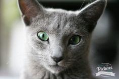 Montsi - russian blue cat, photo: Lena Andrzejewska | My Best Pictures www.lenaandrzejewska.pl
