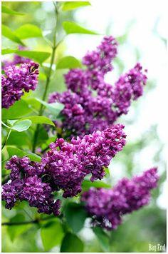 Syringa (Lilac) / Syreeni