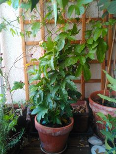 Resultado de imagem para plantar maracujá na varanda