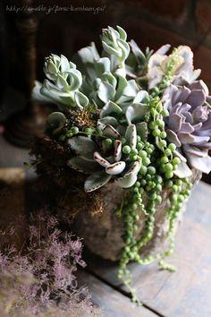 センペルヴィブムBOXの画像 | フローラのガーデニング・園芸作業日記