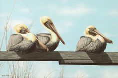 Brown Pelicans hanging out.