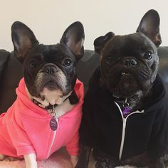 Pierre and Remy, French Bulldogs @pierrebrando on instagram, Buy an #oscarslaw Fundraiser ID Tag from @idpetaustralia this July where profits will go towards helping @oscarslawinc stop puppy farms and animal cruelty 🆔 #idpetoscarslaw #idpetaustralia