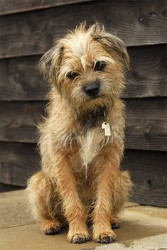 One of my Border Terrier - Talk Photography