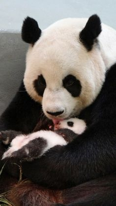 Giant panda Yuan Yuan licks her baby in their enclosure at Taipei Zoo. The cub, the first panda born in Taiwan, was delivered on 7 July at Taipei City Zoo Niedlicher Panda, Panda Love, Cute Panda, Cute Baby Animals, Animals And Pets, Funny Animals, Baby Pandas, Baby Panda Bears, Giant Pandas