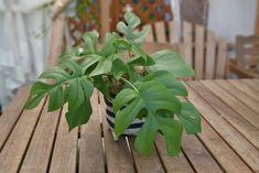 ヒメモンステラはいくつかの小型モンステラの流通名です。 一般的なモンステラと比べるとかなり小型ですが、しっかりと葉に切れ込みが入るため、ちょっとしたグリーンにおすすめです。