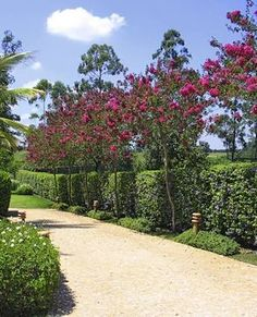 Image result for wax myrtle and bougainville