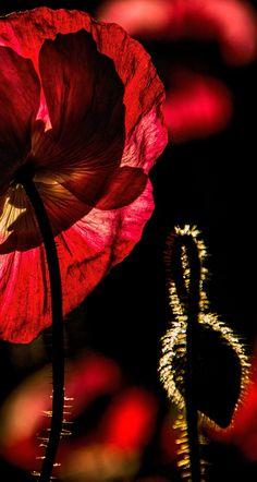 Back lit poppy in the garden 2014. Dan Creek in Wrangell St. Elias National Park, Alaska. │ alaska, poppy, red, flowers, wrangell st elias national park, poppy bud alaska wilderness, alaska wilderness prints