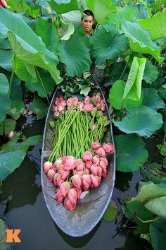 Vietnam Lotus i e i - i eklerin Farkl G zelli i - Beautiful World, Beautiful Places, Beautiful Pictures, Foto Poster, Lotus Pond, Ikebana, Flower Power, Floral Arrangements, Orchids