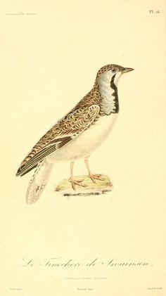 Illustrations de zoologie, ou, Recueil de figures d'animaux peintes d'après nature / - Biodiversity Heritage Library