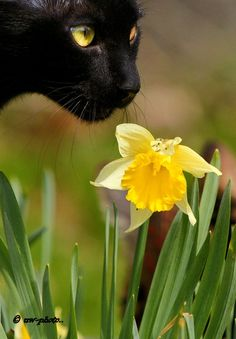 Black cat with yellow eyes and yellow daffodil..beautiful.