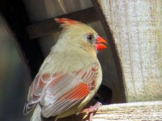 https://flic.kr/p/SXNSJK | A female cardinal at #EagleCreekPark, Indianapolis. | One of the best places in Indianapolis to bird watch is Eagle Creek Park on the northwest side of Indianapolis which is the largest park in #Indy.