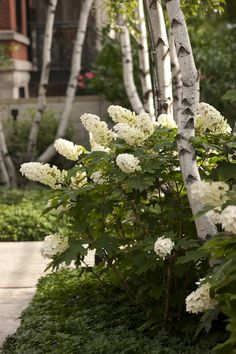 Oak leaf hydrangeas & white birches