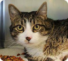 Westampton, NJ - Domestic Shorthair. Meet Teddy Bear 33632592, a cat for adoption. http://www.adoptapet.com/pet/16830507-westampton-new-jersey-cat