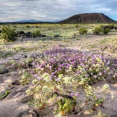 Desert in bloom Amboy Crater is a small volcano sitting in the middle of the Mojave Desert, in the area declared part of Mojave Trails National Monument (declared by President Obama in early 2016). Normally, sand, dirt, dark igneous rocks, and brush...
