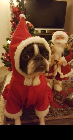 "Receive excellent tips on ""boston terrier puppies"". They are accessible for you on our website. Terrier Breeds, Terrier Puppies, Pitbull Terrier, Boston Terrier Temperament, Boston Bull Terrier, English Terrier, Christmas Dog, Dog Christmas Costumes, Merry Christmas"