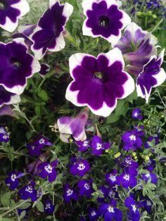 The purple summer garden.