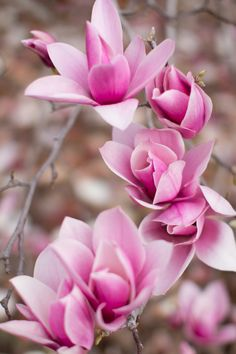 Pink Magnolia Bloom. Photo by: Christine Doneé Photography