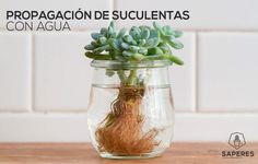 How-To: Propagating Succulents What could we love more than a succulent? A whole garden of succulents, of course! Lucky for us, it's easy to grow a collection of these hardy, colorful plants at home via propagation. Propagating Succulents, Succulent Gardening, Succulent Terrarium, Cacti And Succulents, Planting Succulents, Container Gardening, Garden Plants, Planting Flowers, Growing Succulents