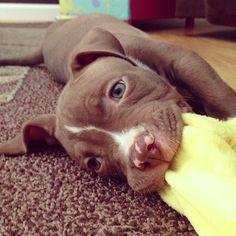 http://www.MyPitbullShop.com #puppy #pup #pitbull #pitbulls #cute #eyes #instagood #dogs_of_instagram #pet #pets #animal #animals #petstagram #petsagram #dogsitting #photooftheday #dogsofinstagram #ilovemydog #instagramdogs #nature #dogstagram #dogoftheday #lovedogs #lovepuppies #hound #adorable #doglover #instapuppy #instadog