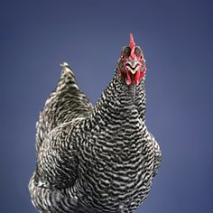 Barred Plymouth Rock Hen