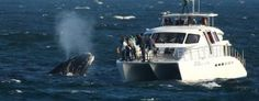 Boat-based whale-watching, is a lucrative business contributing huge revenue into Cape Tourism's coffers and offering tourist a close-up view of these majestic beasts. Cool Countries, Countries Of The World, Windsor Hotel, Charter Boat, Close Encounters, Whale Watching, Marine Life, Rafting, Dolphins