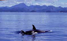 <p>How is plastic currently impacting our oceans and environment?  As the Rekos Fellow for Orca Conservation for Whale and Dolphin Conservation, I need to know how these things affect orca populations in the present day to help find ways to mitigate their effects.</p>