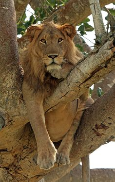 Tree climbing lion, Isasha Plains, Queen Elizabeth National Park, Uganda by Joke Kok Photography