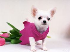 pictures of chihuahuas | Gorgeous Chihuahua - Chihuahuas Wallpaper (16750842) - Fanpop fanclubs