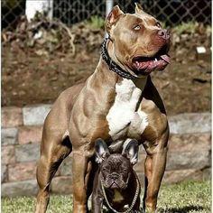 #dogs #animals #pitbull #pitsofinstagram #instadog #strong #beast #bodybuilding #beastmode #love #passion #instagram #fitness #ink #mma #perro #cachorro #nature #tattoosofinstagram #bully #frenchie #americanbully_ #americanbully Photo Credit to http://bit.ly/1WrLXRx