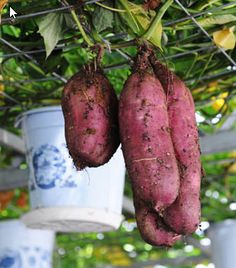 #Sweetpotatoes growing on a shelf in an intelligent greenhouse in Xiqing District in Tianjin, north China. The #greenhouse is built to show new #agriculturaltechnologies, such as soilless culture and drip irrigation etc., as a model of modern sightseeing agriculture.