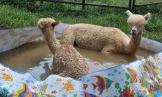 Llamas love swimming!