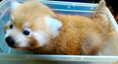 New baby Red Panda Greenville SC zoo