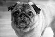 Winston the Pug, co-founder of ModCloth.com