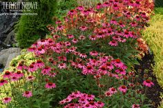 Echinacea 'Amazing Dream' - Bred with E. tennesseensis for floriferousness, 'Amazing Dream' is a dream in the landscape with its compact habit, amazing number of blooms, and long season of bloom. Flowers are deep pink. A great landscape plant for a long show of color.
