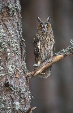 Long-eared owl , Scotland
