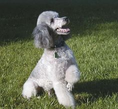 Have a look at this amazing poodle!