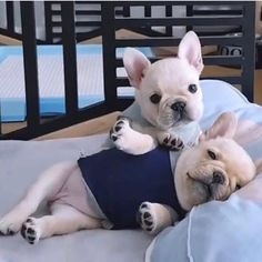 When your friend had one too many drinks and you're stuck helping them. Follow me. Tag your pics #bulldogloves #bulldogs #bulldogpuppy #Frenchbulldog #bulldogbaby #dogs #drinks