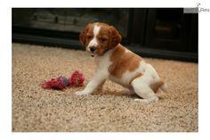 Meet Lobo (French Britt a cute Brittany Spaniel puppy for sale for $800. Lobo (French Brittany)