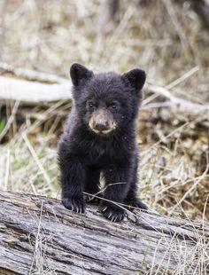 "outdoormagic: "" BLack Bear Cub by lgambon ""                                                                                                                                                                                 More"