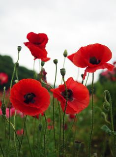 Red poppies. 25 April. Thank you ANZACs and all servicemen and women