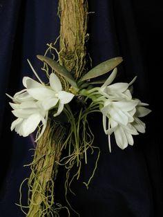 are orchids poisonous to cats Jewel Orchid, Orquideas Cymbidium, Rare Orchids, Orchid Plants, Potted Plants, Miniature Plants, Orchidaceae, Container Plants, Succulent Containers